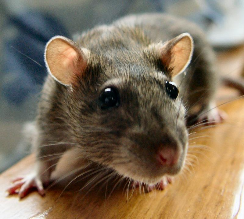 Rats Rats Are Some Of The Most